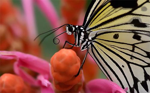 С помощью хоботка бабочка добывает нектар