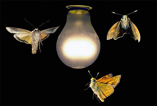 Хотя бабочки и доставляют некоторые неудобства, слетаясь на свет лампы, они не способны никого укусить