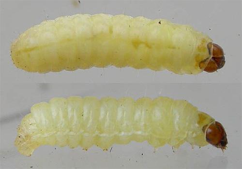 Ротовой аппарат грызущего типа позволяет гусеницам моли эффективно перегрызать волокна ткани
