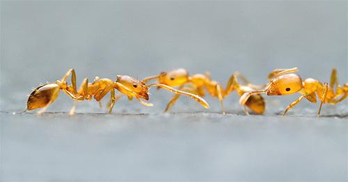 Домашние муравьи в поисках пищи
