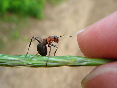Рыжие лесные муравьи довольно крупные