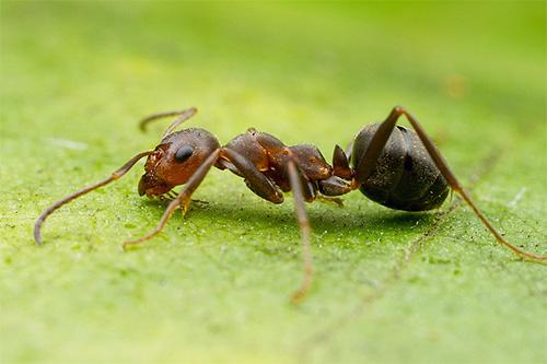 У лесного муравья только грудь и низ головы рыжие, а вот брюшко у него почти черное