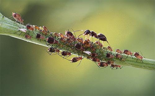 Лесной муравей охраняет свое стадо тлей