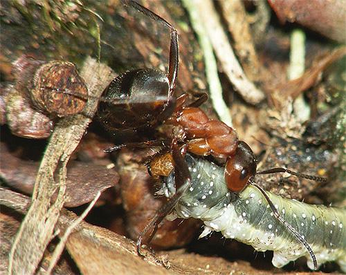 Рыжий лесной муравей бесстрашно борется с гусеницей