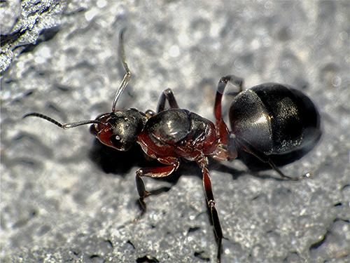 На фотографии - матка рыжих лесных муравьев крупным планом