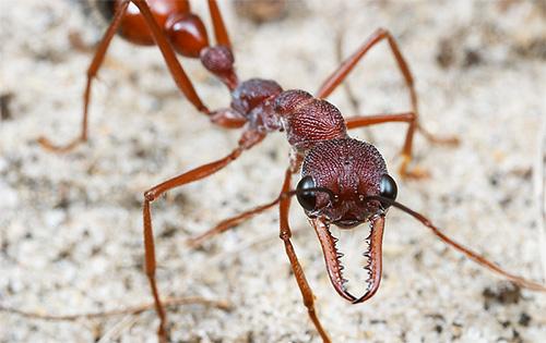Рабочие муравьи-бульдоги могут жить до 5 лет