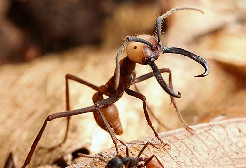 Кочевые муравьи не могут похвастаться такой же длительностью жизни, как муравьи-бульдоги, но они известны другими рекордами