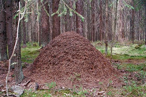 Муравейники в виде большой кучи часто встречаются в наших лесах