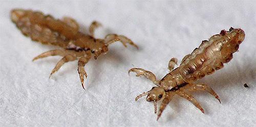 Головная вошь - паразит, способный быть переносчиком ряда опасных для человека заболеваний