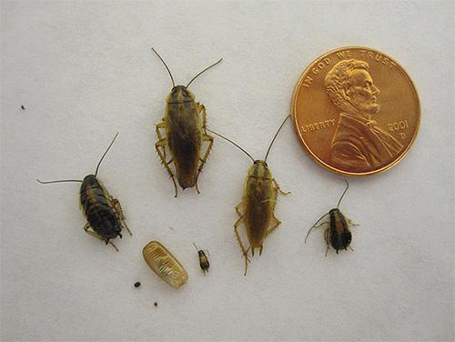 Стадия нимфы в развитии есть не только у головных вшей, но также, например, у тараканов