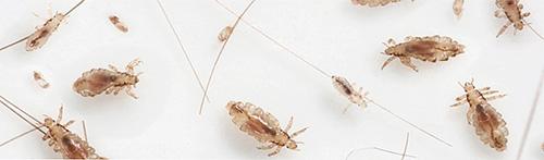 Несколько бельевых вшей с личинками и гнидами