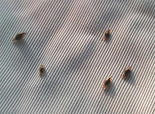 Бельевые вши на ткани