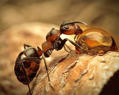 Давайте познакомимся с наиболее интересными видами муравьев поближе