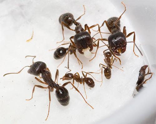 На фото - муравьи жнецы