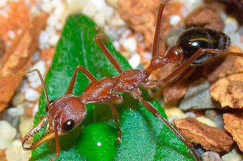 Фотография муравья-бульдога