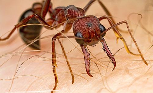 Укусы муравьев-бульдогов весьма чувствительны