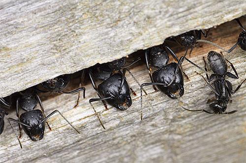Муравьи-древоточцы могут устраивать свои муравейники прямо в деревьях