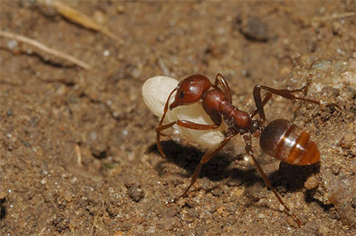Муравей-амазонка похитил личинку из другого муравейника