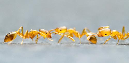 Фото фараоновых муравьев крупным планом