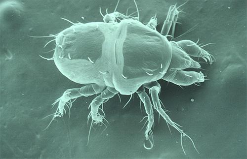 Фото чесоточного клеща под микроскопом: у него 8 лапок (а у вшей всего 6)
