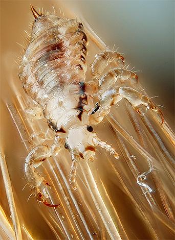 Благодаря острым закругленным кончикам лапок постельная вошь хорошо держится на волокнах ткани и на волосах