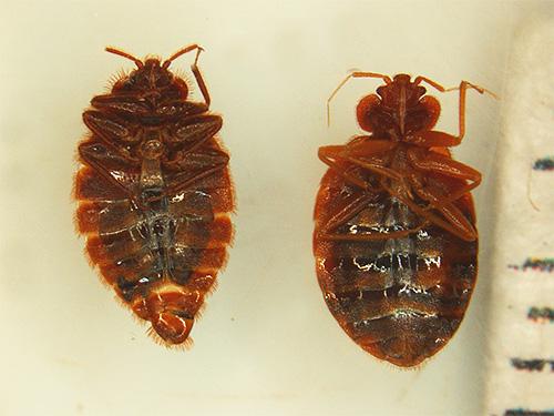 Сочетание двух мощных инсектицидов в средстве Кукарача позволяет достигать высокого отравляющего воздействия препарата на клопов