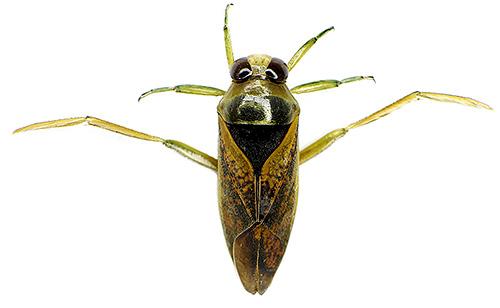 Водяной клоп гладыш не только отлично плавает, но и хорошо летает. Какие еще есть особенности у этого насекмого и стоит ли его бояться?