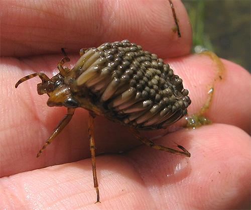 Иногда на надкрыльях самца гигантского клопа может поместиться около сотни яиц