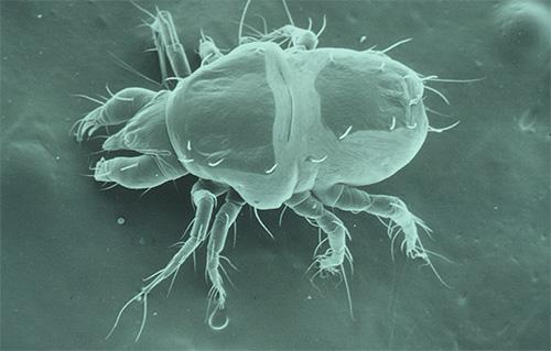 Фотография чесоточного клеща под микроскопом