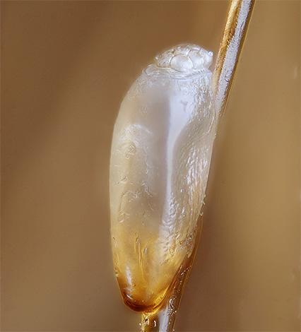 Благодаря защитной оболочке гнида зачастую остается жива даже после воздействия керосином