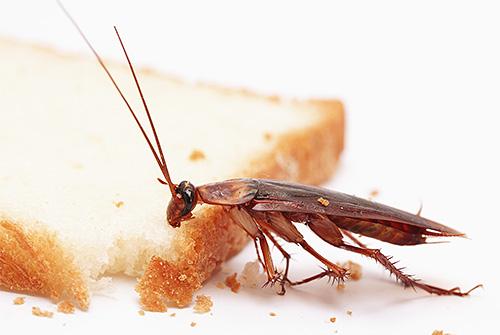 Тараканов привлекает запах еды, что и используется в ловушках для них