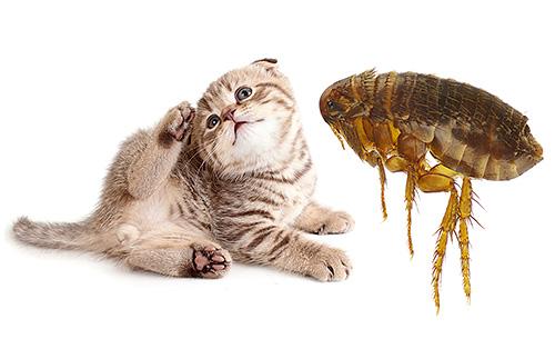 В действительности кошачьим блохам не так уж и важно, кого кусать - кошку или человека. Но обо всем по-порядку...