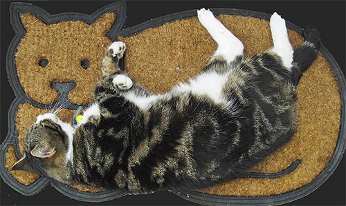 Мало кто знает, что основное местообитание блох находится не на теле кошки, а на ковре или на подстилке