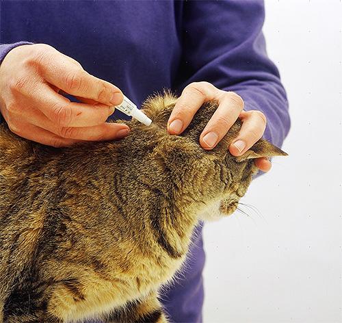 Инсектицидные капли наносятся на холку и вдоль позвоночника кошки