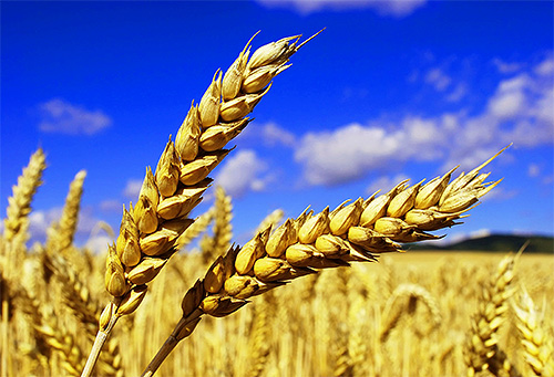 Сон со вшами на голове у ребенка раньше считали знаком хорошего урожая