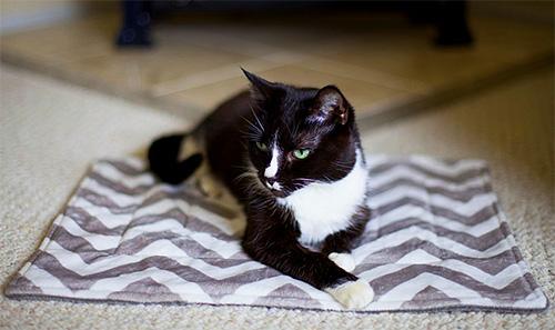 В квартире личинки блох чаще всего будут находиться в местах отдыха животного
