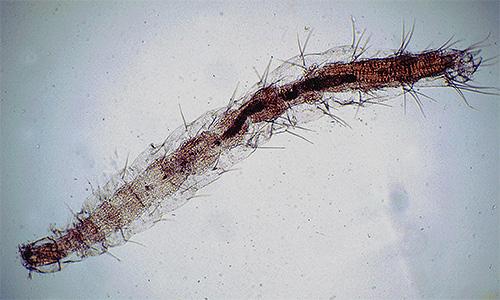 Личинка блохи под микроскопом