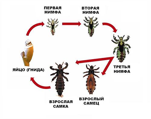 На картинке показан полный цикл размножения головной вши