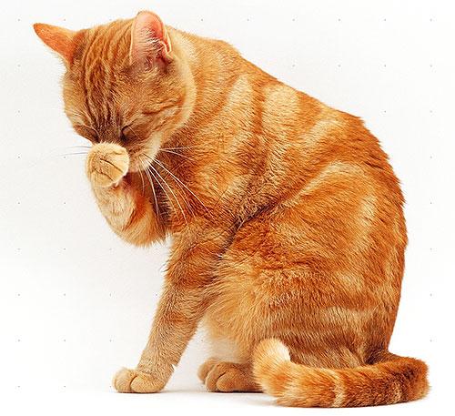 Коты и кошки более чувствительны к пиретроидам, чем собаки, поэтому использовать средства от блох у них следует особенно осторожно