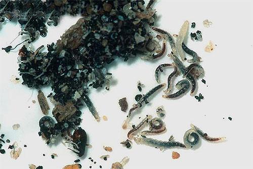 Личинки блох