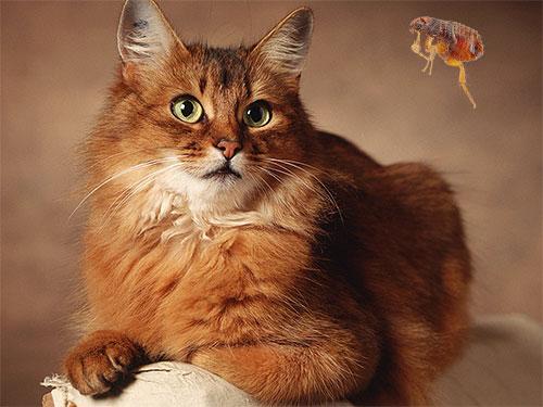 Несколько практических рекомендаций по безопасному избавлению домашнего кота от блох...