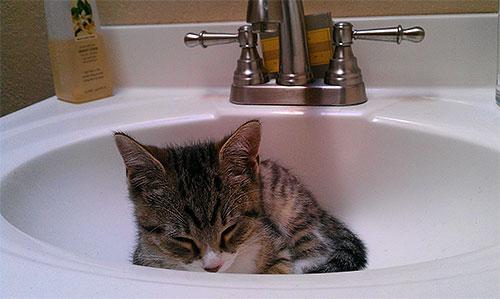 Для избавления маленьких котят от блох обычно используют специальные шампуни.