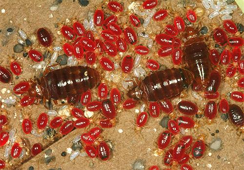 На фотографии показаны сытые постельные клопы и их личинки, напившиеся крови
