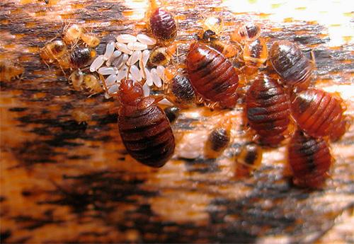 На фотографии показано типичное гнездо постельных клопов: видны взрослые особи, личинки и яйца паразитов