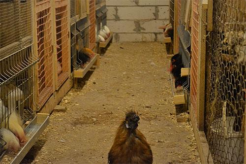 Во время лечения кур от блох нужно уделить тщательное внимание и обработке самого курятника