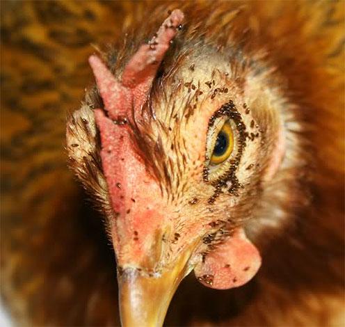 Такое большое количество куриных блох может привести к гибели птицы