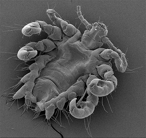 Еще одно фото лобковой вши под электронным микроскопом
