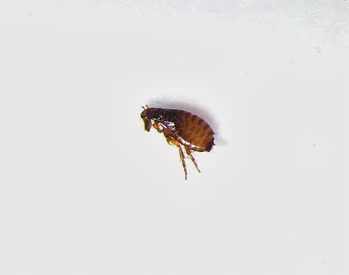 Современные инсектицды вызывают довольно быструю гибель блох и при этом относительно безопасны для животных и человека
