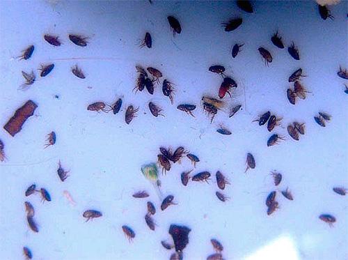 Применение современных инсектицидов позволяет довольно быстро избаиться даже от большого количества блох в квартире