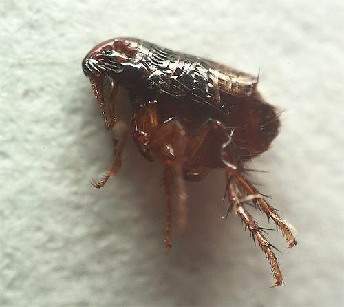 На фотографии блохи под микроскопом видно, что ее задние лапки особенно хорошо развиты